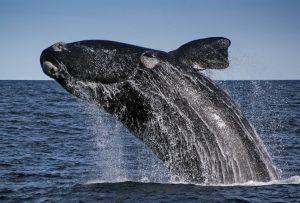 baleine-franche-australe