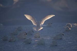 petrels-des-neiges